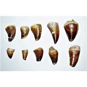"""Mosasaur Dinosaur Tooth 3/4-1 1/2 inch """"C"""" grade LOT OF 10 -85 Mill Yr Old"""