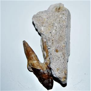 BASILOSAURUS Tooth Fossil Late Eocene 40 Million Years Old #14333 7o