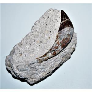 BASILOSAURUS Tooth Fossil Late Eocene 40 Million Years Old #14334 7o