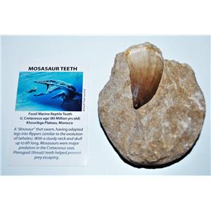 MOSASAUR Dinosaur Extra Large Tooth Fossil in Matrix 2.27 inches #14344 13o