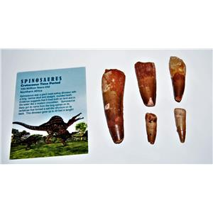 Lof ot Five Spinosaurus Dinosaur Tooth Fossils w/ 5 Information Cards 5o #14408