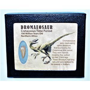 Dromeosaur Raptor Dinosaur Tooth Fossil .919 inch w/ Display Box SDB #14434 11o