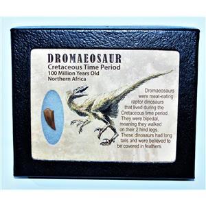 Dromeosaur Raptor Dinosaur Tooth Fossil .684 inch w/ Display Box SDB #14435 11o