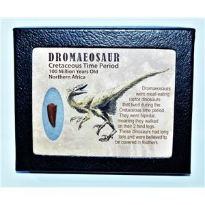 Dromeosaur Raptor Dinosaur Tooth Fossil .713 inch w/ Display Box SDB #14436 11o