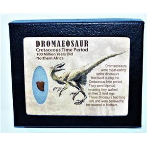 Dromeosaur Raptor Dinosaur Tooth Fossil .433 inch w/ Display Box SDB #14437 11o