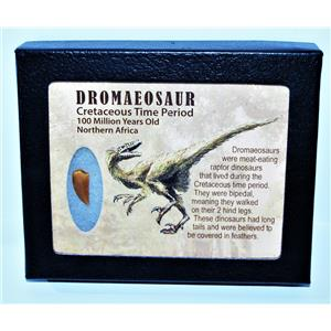 Dromeosaur Raptor Dinosaur Tooth Fossil .709 inch w/ Display Box SDB #14438 11o