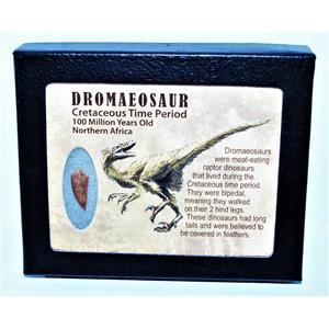 Dromeosaur Raptor Dinosaur Tooth Fossil .794 inch w/ Display Box SDB #14440 11o