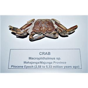 Macrophthalmus Fossil Crab Pliocene Epoch 5 MYO #14509 7o