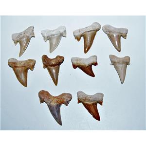 "OTODUS Shark Tooth Real Fossils ¾-1 Inch (S) Lot of 10 Teeth ""B"" Grade 14515"