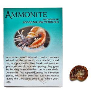 AMMONITE Fossil 3/4 to 1 inch size Madagascar #10297 2o