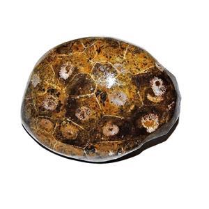 Hexagonaria Coral (Small) Beautifully Polished Morocco 350 Million YO #11333 10o