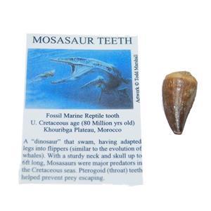 Mosasaur Tooth Fossil w/ COA (M) 1-1 1/2 Inch Dinosaur Age Teeth 4o