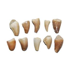 MOSASAUR Dinosaur Tooth Fossil 1/2 inch Size x-small lot of 10 #14050 4o
