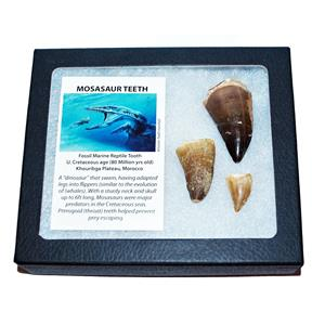 MOSASAUR Tooth Fossils (3 Teeth) Dinosaur Age w/ Display Box LDB & COA #13820