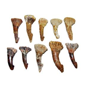 Onchopristis Sawfish Tooth Fossils-Lot of 10-Dinosaur Age 1 1/2 - 2 inch  #14047