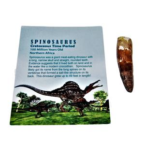Spinosaurus Dinosaur Tooth Fossil 2 inch to 2 1/2  inch Size #14059 4o