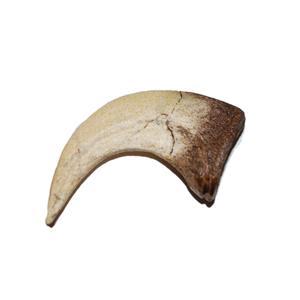 VELOCIRAPTOR Dinosaur Claw Replica - (NOT REAL FOSSIL) 2 inch #10244 2o