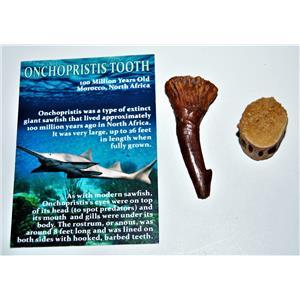 Onchopristis Vertebra & Tooth Fossil 2  inches 100 MYO 14569 5o