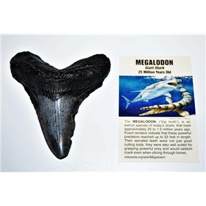 MEGALODON TOOTH Fossil SHARK 3.566 inches - Up to 25 Million Years Old #14599 7o
