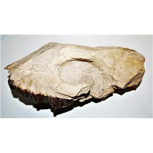 Hyracodon Partial Skull -Up to 30 Million Years Old #14604 51o