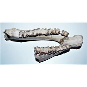 Hyracodon Partial Jaw Section-Up to 30 Million Years Old #14605 22o