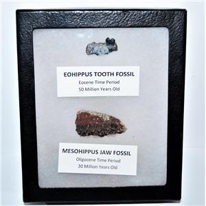 Eohippus (Horse) Tooth & Mesohippus Jaw Real Fossils +Display Box SDB #14622 13o