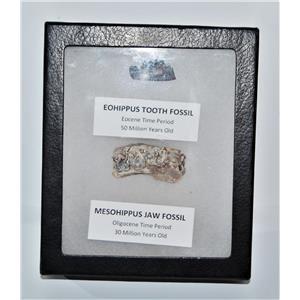 Eohippus (Horse) Tooth & Mesohippus Jaw Real Fossils +Display Box SDB #14623 13o