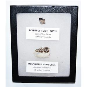 Eohippus (Horse) Tooth & Mesohippus Jaw Real Fossils +Display Box SDB #14626 13o
