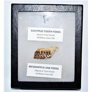 Eohippus (Horse) Tooth & Mesohippus Jaw Real Fossils +Display Box SDB #14627 13o