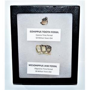 Eohippus (Horse) Tooth & Mesohippus Jaw Real Fossils +Display Box SDB #14629 13o