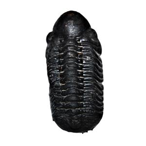 Reedops TRILOBITE Fossil Morocco 390 Million Years old #13334 16o