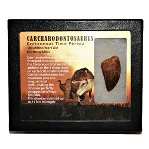 "CARCHARODONTOSAURUS Dinosaur Tooth 1.646"" Fossil African T-Rex MDB #14716 13o"