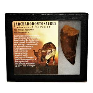 "CARCHARODONTOSAURUS Dinosaur Tooth 2.924"" Fossil African T-Rex MDB  #14734 13o"