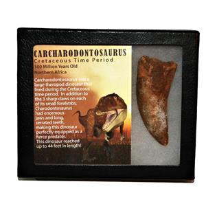 "CARCHARODONTOSAURUS Dinosaur Tooth 3.114"" Fossil African T-Rex MDB  #14736 13o"