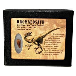 Dromeosaur Raptor Dinosaur Tooth Fossil .766 inch w/ Display Box SDB #14767 11o