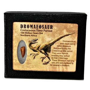 Dromeosaur Raptor Dinosaur Tooth Fossil .758 inch w/ Display Box SDB #14768 11o
