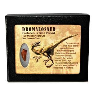 Dromeosaur Raptor Dinosaur Tooth Fossil .818 inch w/ Display Box SDB #14770 11o