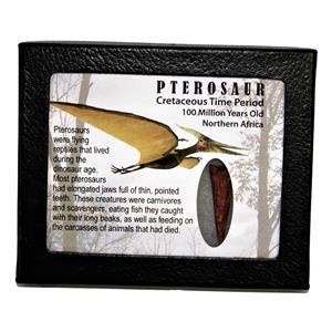 PTEROSAUR Dinosaur Tooth Fossil 1.521 inch 100 MYO w/ Display Box SDB #14788 11o