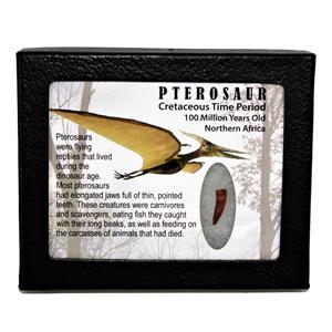 PTEROSAUR Dinosaur Tooth Fossil .725 inch 100 MYO w/ Display Box SDB #14791 11o