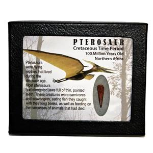 PTEROSAUR Dinosaur Tooth Fossil .897 inch 100 MYO w/ Display Box SDB #14792 11o