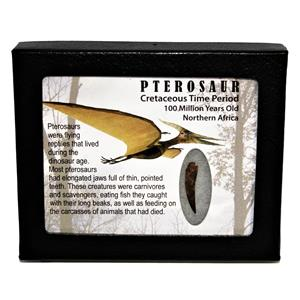 PTEROSAUR Dinosaur Tooth Fossil 1.057 inch 100 MYO w/ Display Box SDB #14795 11o