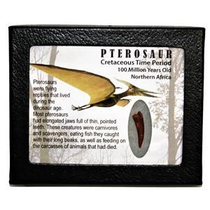 PTEROSAUR Dinosaur Tooth Fossil 1.057 inch 100 MYO w/ Display Box SDB #14798 11o