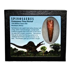 SPINOSAURUS Dinosaur Tooth Fossil 2.240 inch w/ Info Card LDB #14833 14o