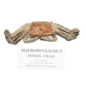 Macrophthalmus Fossil Crab Pliocene Epoch 5 MYO #14875 9o
