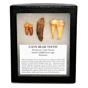CAVE BEAR Teeth Set of 3 Fossils Extinct Pleistocene - w/ Display Box #14886 12o