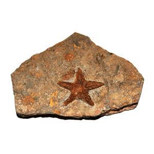 Starfish Fossil Ordovician 450 Million Years Ago Morocco #14899 10o