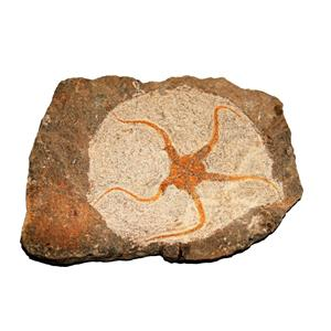 Brittle Star Fossil 450 Million Years Old Morocco #14903 28o