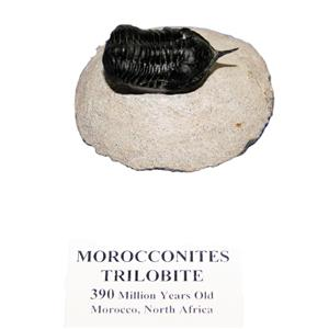 Morocconites TRILOBITE Fossil Morocco 390 Million Years old #14915 12o