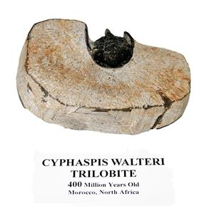 Cyphaspis Walteri TRILOBITE Fossil Morocco 400 Mil Years Old #14922 16o