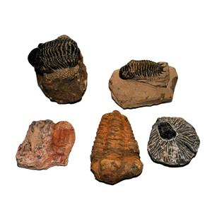 TRILOBITES (Real Fossils) Collector Lot of 5 Different Species #14930  33o